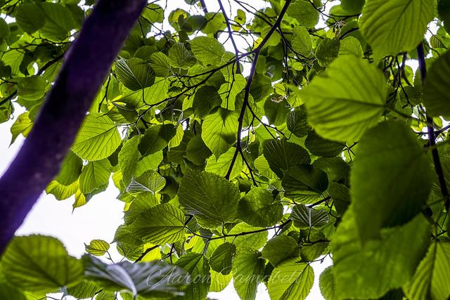 Tree Canopy, 2020.05.12