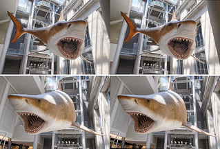 The 52-foot-long model of a female mega-toothed shark that is suspended above the new dining area at the Smithsonian Museum of Natural History in Washington DC.