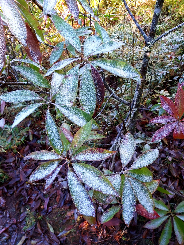 ROMA: frost on the leaves