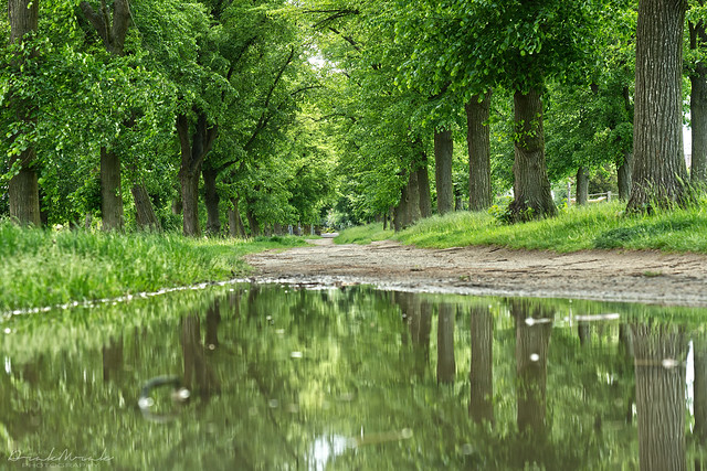 Linden tree alley, reflexion in a puddle