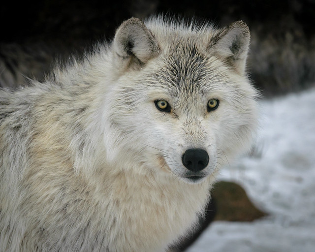 Alpha Female Wolf - 6190