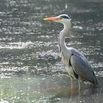 Waiting heron at Haslam Park