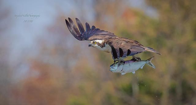 Osprey Nj