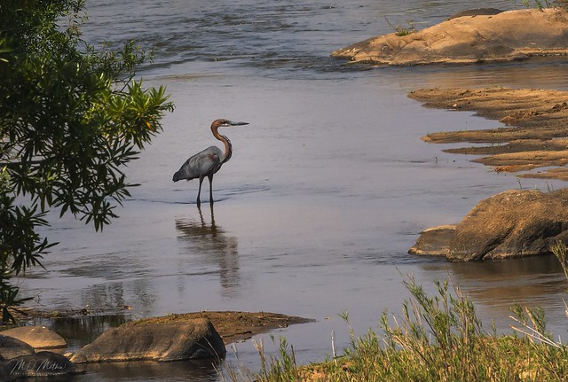 Goliath Heron... Olifants River, Kruger NP, SA