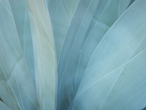 Ethereal Agave Azul (Blue Agave) in Zihuatanejo, Mexico
