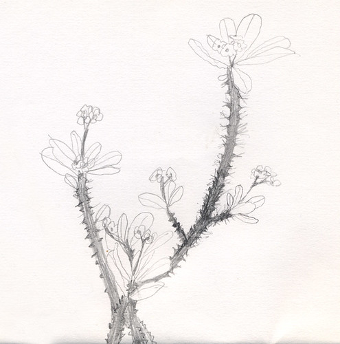 pencil sketch of a Crown of Thorns plant in Myanmar