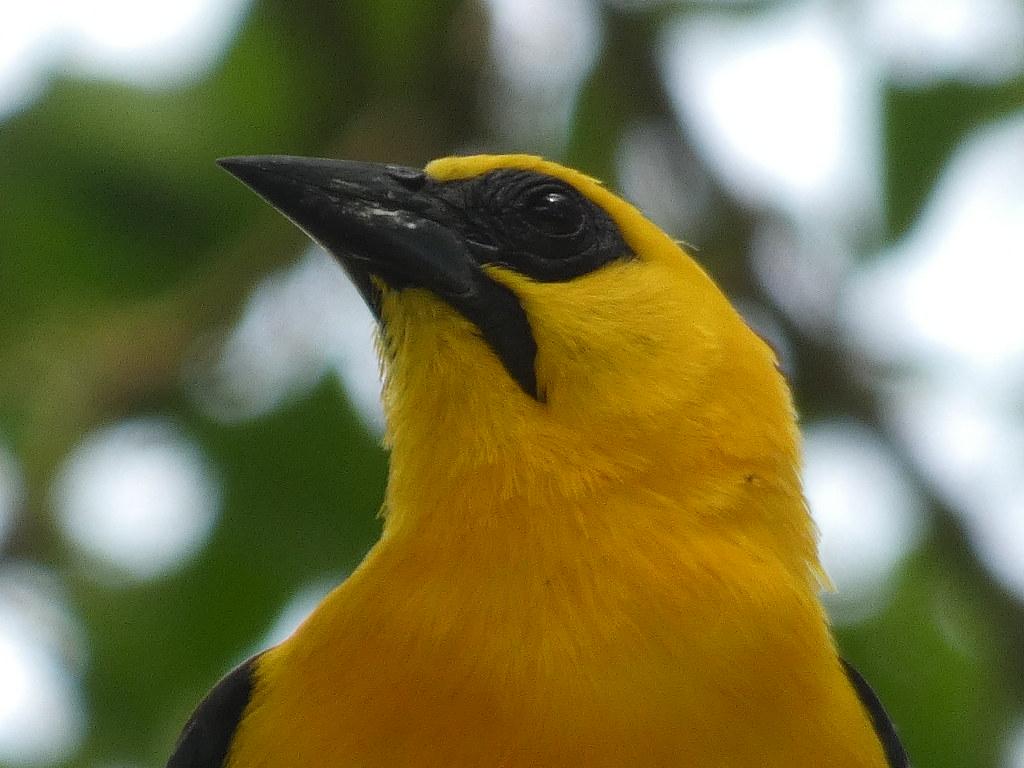 Oriole Blackbird (Gymnomystax mexicanus)