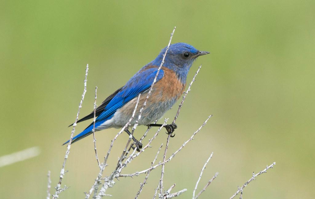 Western Bluebird (1 of 1)
