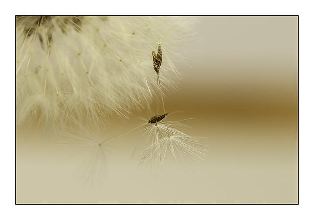 Dandelion seeds - In Explore