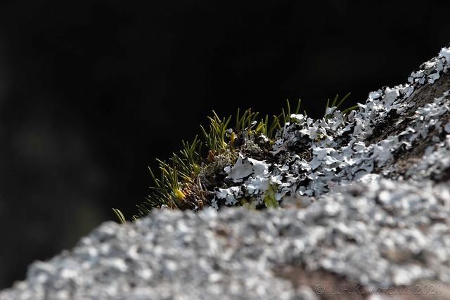 Christensonella sp. in situ