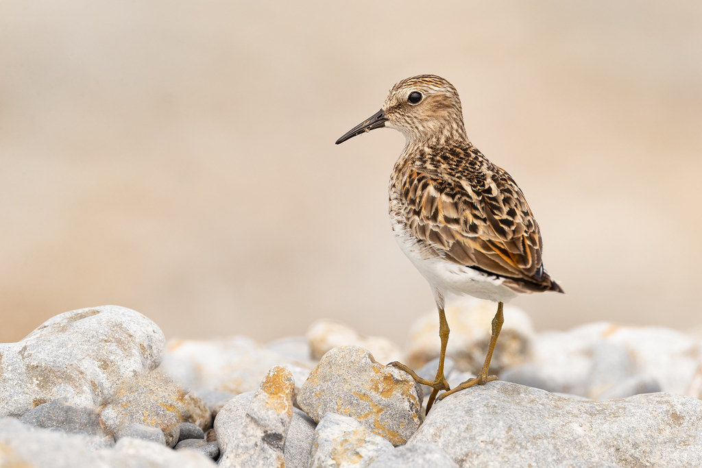 Least Sandpiper at Charwell Point, Prince Edward County | Calidris minutilla | Bécasseau minuscule