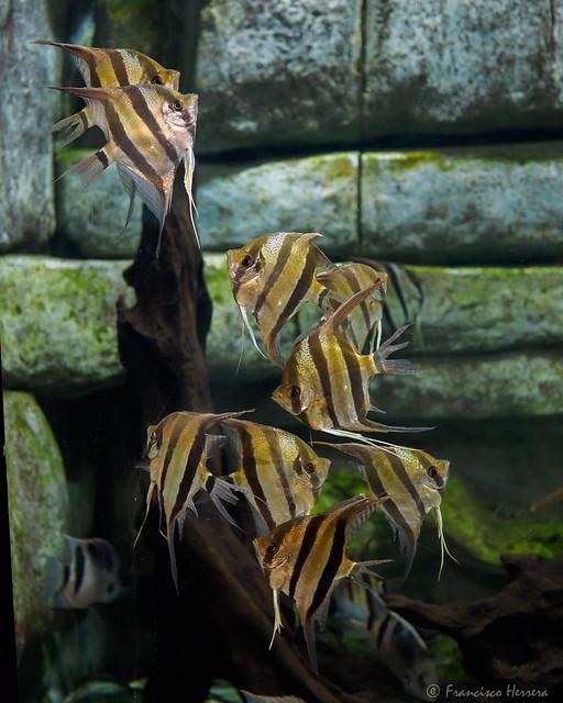 Altum angelfish - Pterophyllum altum