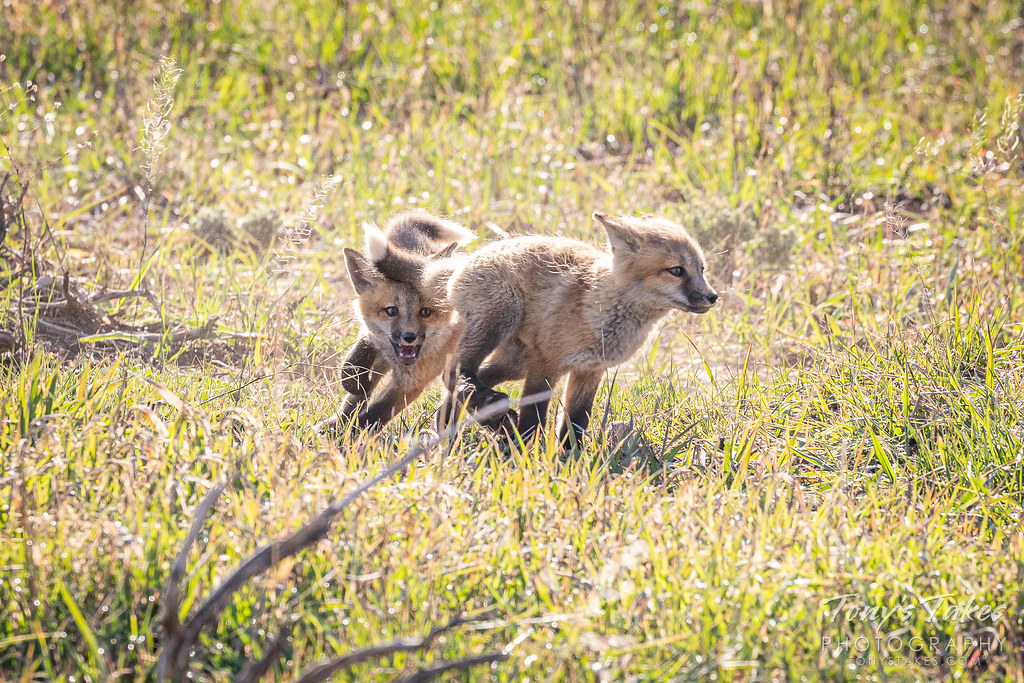Fox kits play a game of chase. (© Tony's Takes)