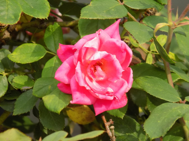 Pink Rose And Foliage.