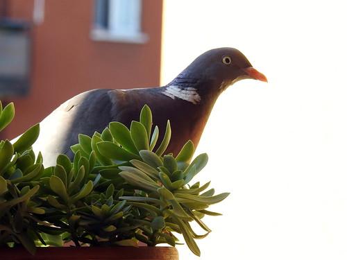 Cavenago di Brianza - Un ospite sul balcone