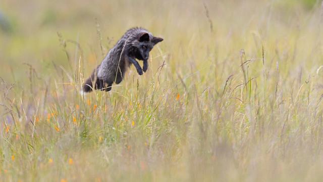 Hunting voles