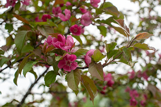 Crabapple Blossoms | by Stephen Downes