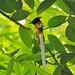 সাহেব বুলবুলি / দুধরাজ / Indian Paradise Flycatcher ||| সরিষাবাড়ি, জামালপুর ||| কেনন ৭০০ ডি ||| ০৬-০৫-২০২০