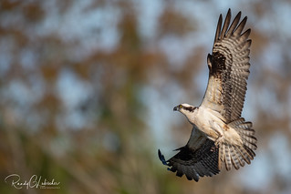 Osprey of the Jersey Shore | 2020 - 18