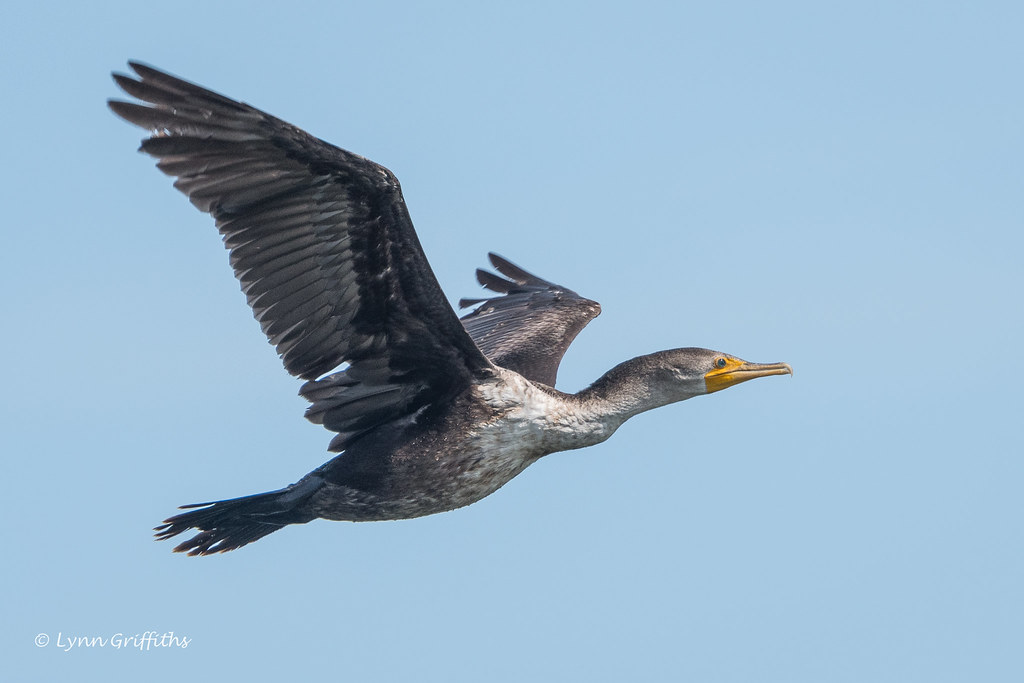 Double-Crested Cormorant 502_6316.jpg