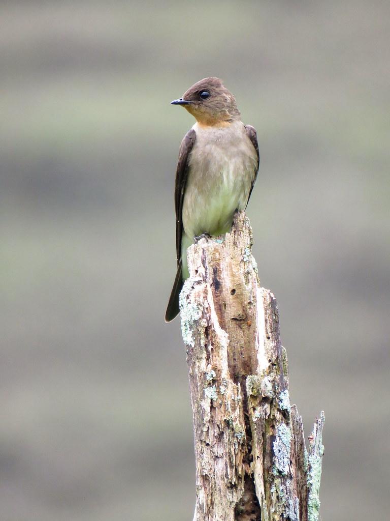 La condición de alimentarse en vuelo hace a estas incansables golondrinas barranqueras una especie a veces difícil de fotografiar, pues debes hacerlo en vuelo o cuando estas te dan la opción de posarse por un instante.