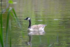 Veterans Park Canada Goose