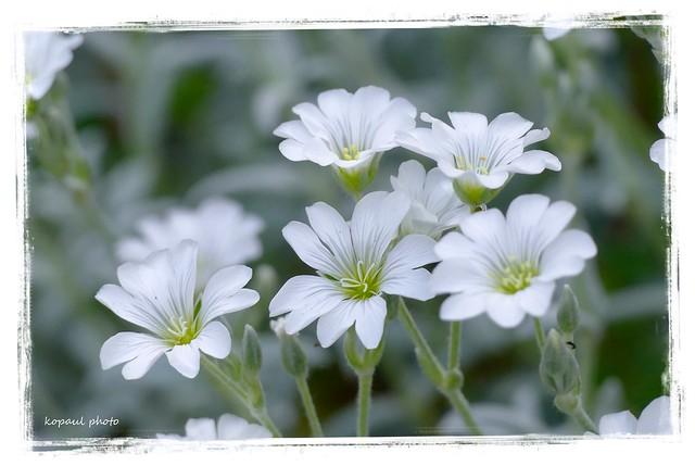 Blüten Steingewächs