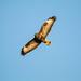 Greifvogel-42937-20200525.jpg