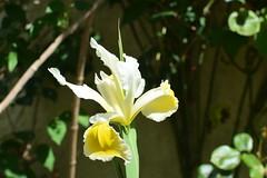 Iris géant