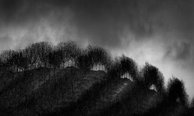 Rows of Trees Weathering the Storm...in Winter...on a Hilltop