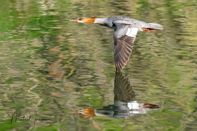 Common Merganser flyby