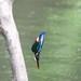 Kingfisher -202005250248.jpg