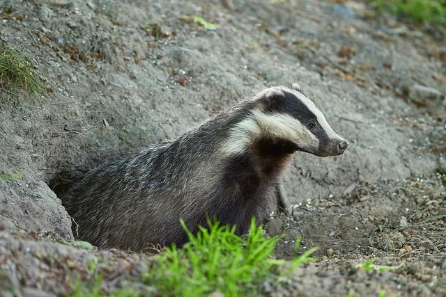 Emerging Badger