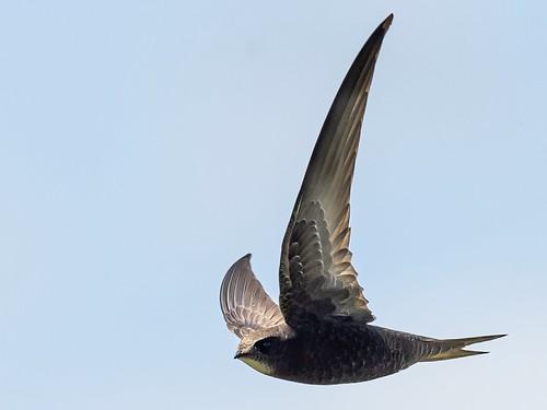 A swift Swift!