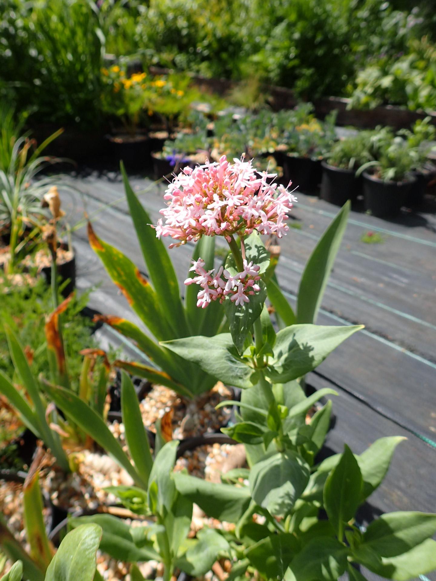 Centranthus ruber Spring Blush