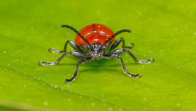 Scarlet lily beetle,