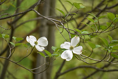 Dogwood at Veterans Park