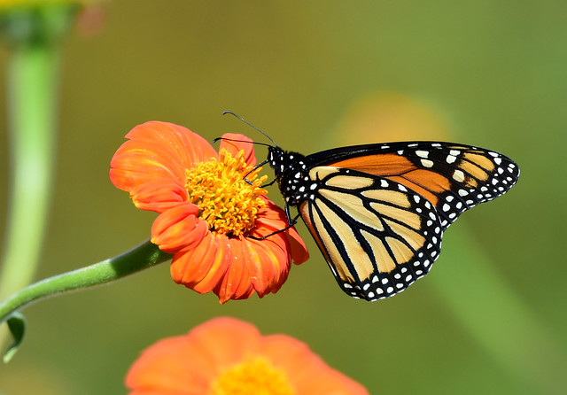 810_0001.jpg= Monarch Butterfly