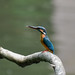 Kingfisher -202005250751.jpg