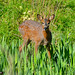 Deer at Cruden (1)