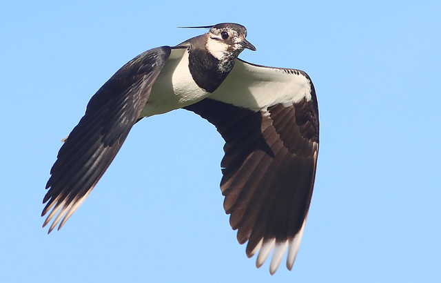 Not Another Lapwing!