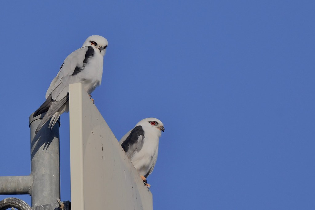 Black- Shouldered Kites ( Belle and Bronson  enjoying  sunshine together )