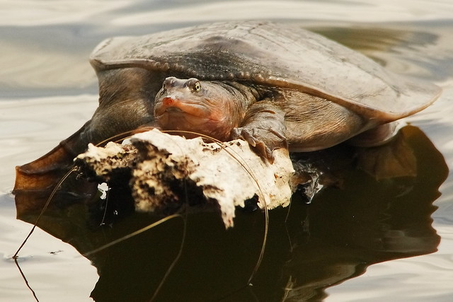 3S5X3394 Soft Shell Turtle
