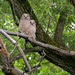 Juvenile Great Horned Owls - JHNWR