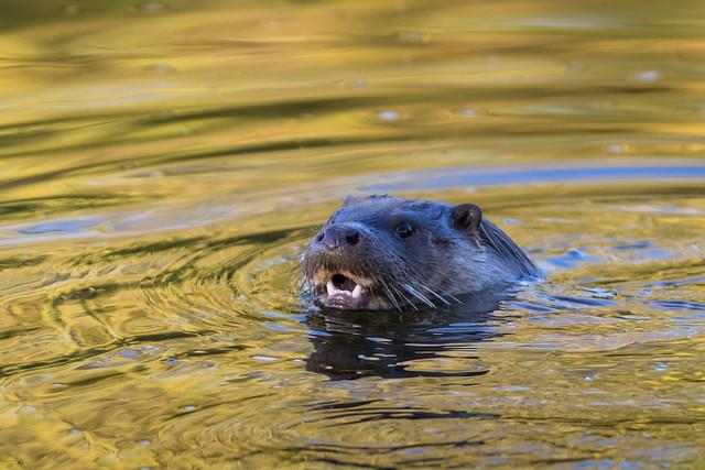 Local otter