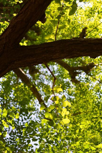 Young green leaves of ginkgo in neighborhood,Hiyoshi town,Yokohama city 2020/04 No.5.
