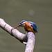 Kingfisher -202005250627.jpg