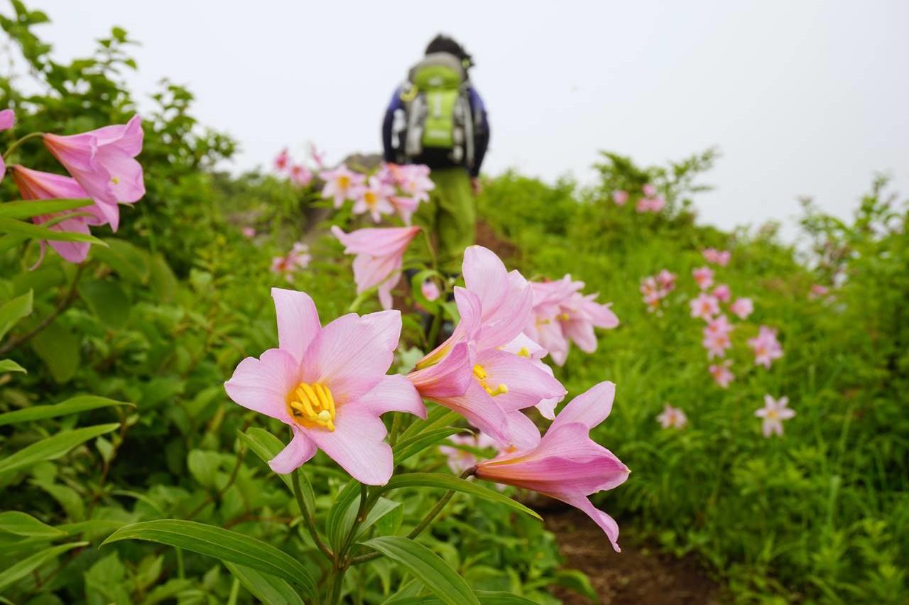 浅草岳のヒメサユリ
