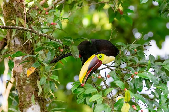 Yellow-throated Toucan / Costa Rica