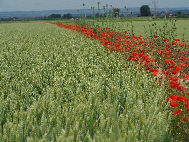 Poppies and cereals